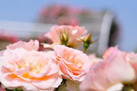 埼玉県伊奈町バラ園写真