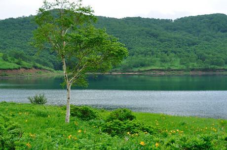 群馬県野反湖のぞりきすげ