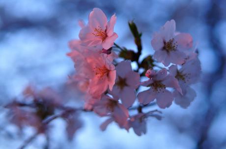 埼玉県鴻巣市吹上元荒川桜写真