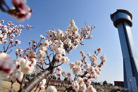 埼玉県行田市古代蓮の里梅写真