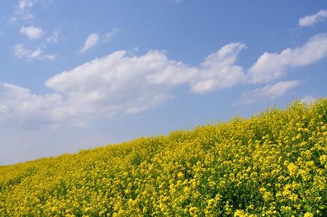 埼玉県荒川土手菜の花写真