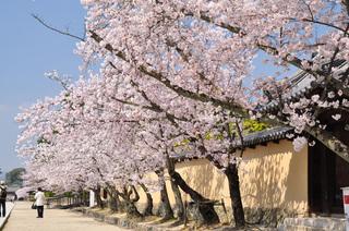 奈良県法隆寺桜写真
