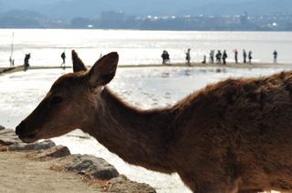 広島県宮島海岸鹿画像