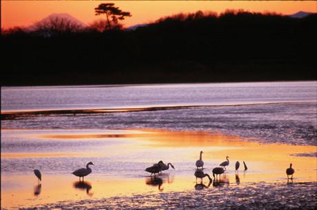 群馬県多々良沼白鳥写真